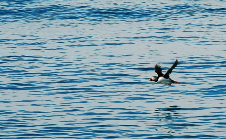 Puffin wings of fury