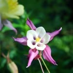 Aquilegia in the garden