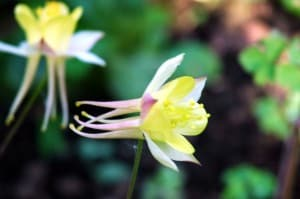 Aquilegia, the new love of my life