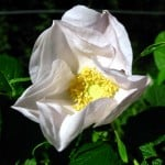 Rosa Rugosa Alba, hard to kill!