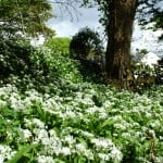 Wild garlic at the gate