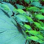 Manchones reef sea fan