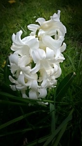 white-hyacinth-spring-pembrokeshire