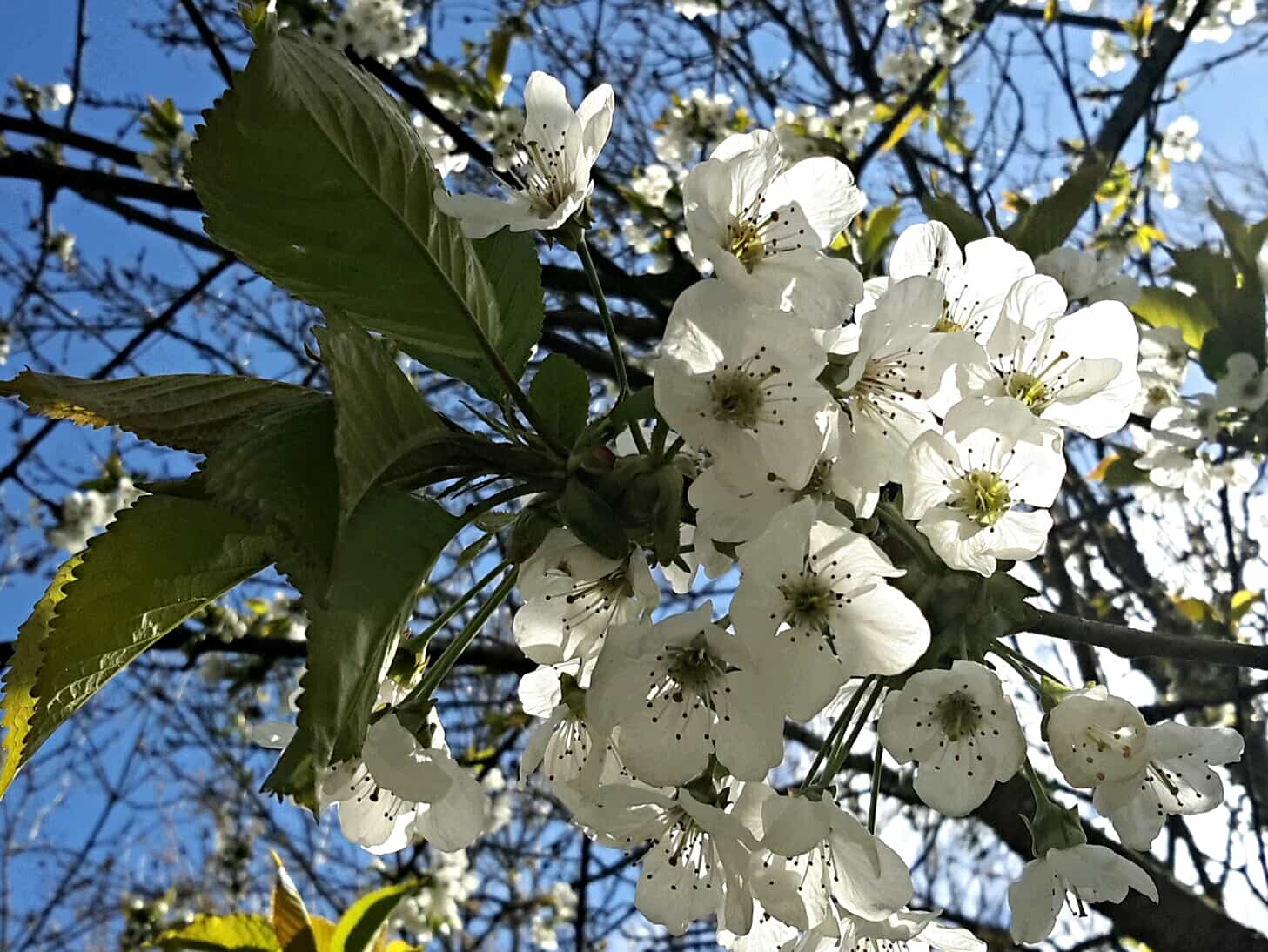 cherry-blossom-Pembrokeshire-may