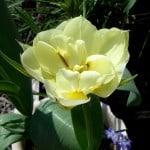 Double Tulip  'Schoonoord'
