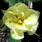 'Schoonoord' double tulip