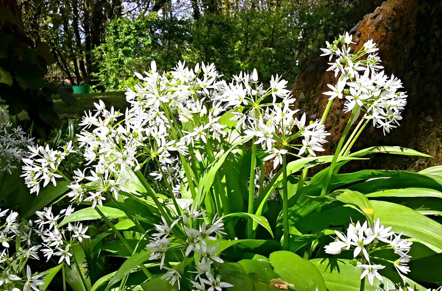 wild-garlic-may-pembrokeshire