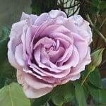 blue-rose-bloom