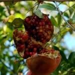 1 - extra ripe garden pomegranite