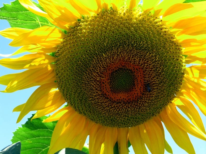 Sunflower at valley entrance