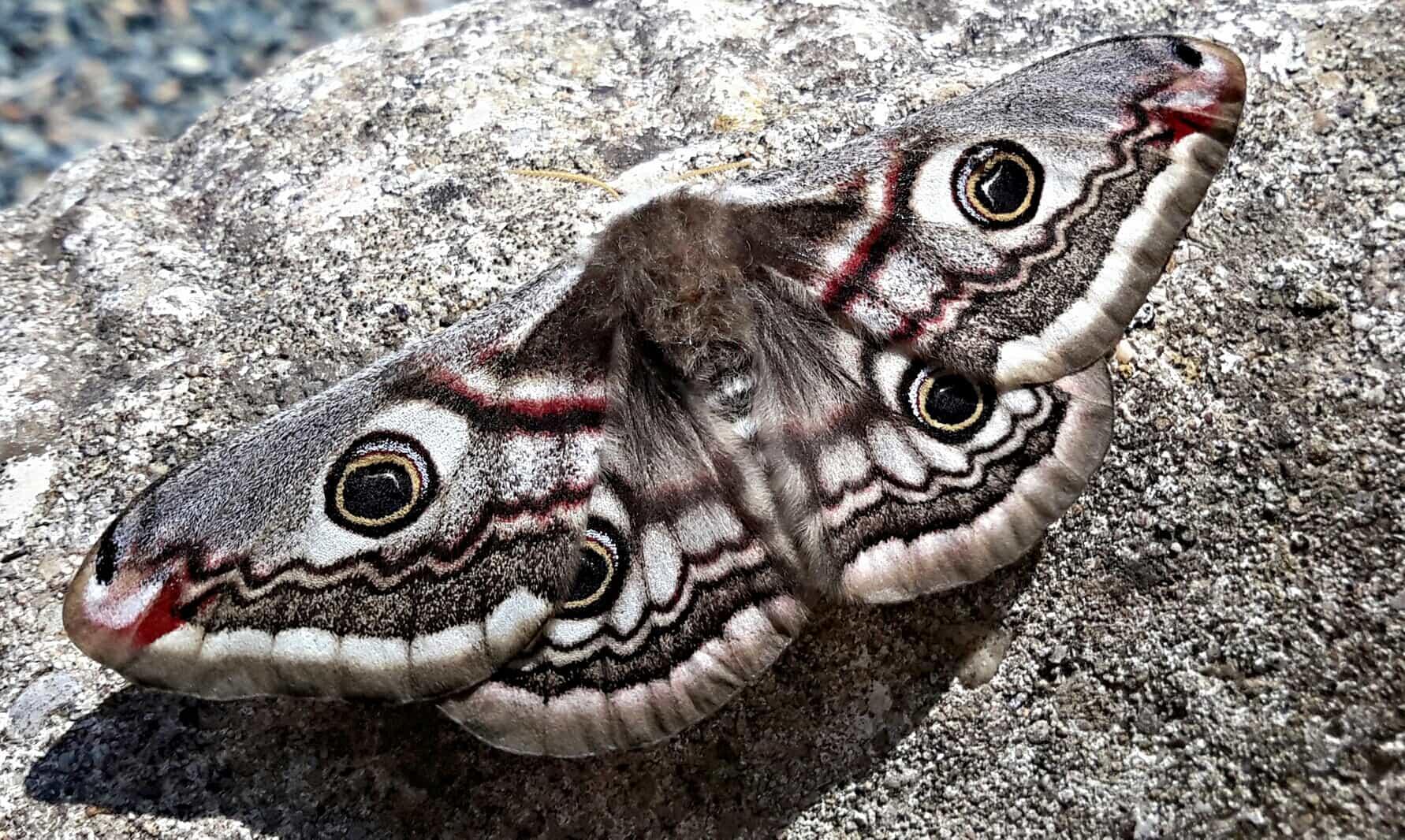Emperor Moth - female