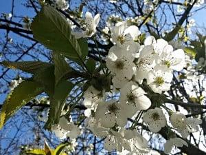 cherry-blossom-Pembrokeshire-may