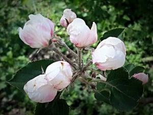 apple-blossom-Pembrokeshire-may