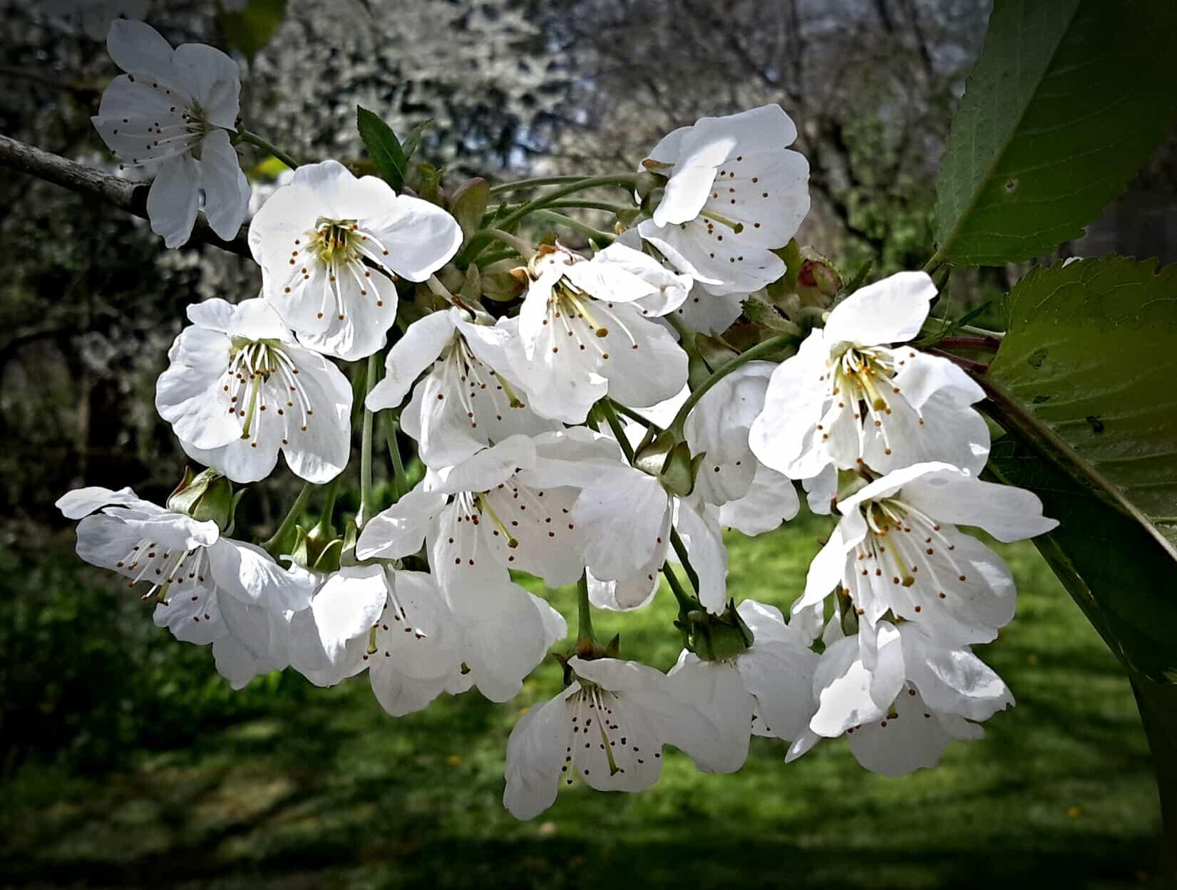 white-cherry-blossom-may-pembrokeshire